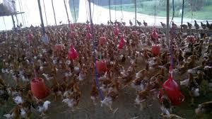 कुखुरा व्यवसायीकाे बिचल्ली, दैनिक २२ करोड नोक्सान